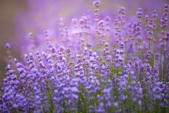 Lilac lavender aromatic flowers, cultivation of lavender plant u. Sed as health care, skin care, cosmetics, essential oils and extracts royalty free stock photos