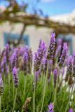 Lavender aromatic flowers, cultivation of lavender plant used as. Lilac lavender aromatic flowers, cultivation of lavender plant used as health care, skin care royalty free stock images