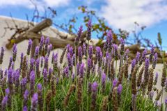 Lavender aromatic flowers, cultivation of lavender plant used as. Lilac lavender aromatic flowers, cultivation of lavender plant used as health care, skin care royalty free stock photography