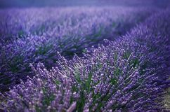 Lilac lavender field, summer landscape near Valensole in Provence, France. Nature background with copy space. Lilac lavender field, summer landscape near Stock Image