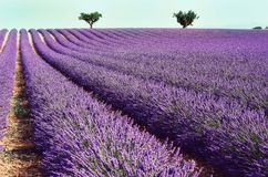 Lilac lavender field, summer landscape near Valensole in Provence, France. Nature background with copy space. Lilac lavender field, summer landscape near Royalty Free Stock Images