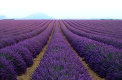 Lilac lavender field, summer landscape near Valensole in Provence, France. Nature background with copy space. Lilac lavender field, summer landscape near Royalty Free Stock Photo