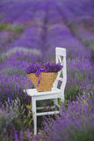 Lilac Lavender flowers in a wicker basket. Royalty Free Stock Images