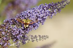 Lilac, Lavender, Purple, English Lavender royalty free stock photography