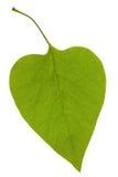 Lilac leaf Stock Images