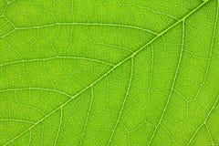 Lilac leaf  background. Lilac leaf close-up background Stock Image