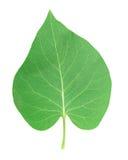 Lilac leaf Stock Photos