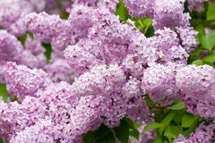 Lilac with leaves Royalty Free Stock Photos