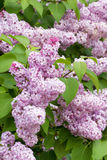 Lilac with leaves Royalty Free Stock Image