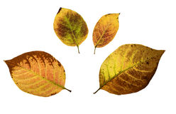 Lilac leaves. Autumn lilac leaves isolated on white with clipping path Stock Photo