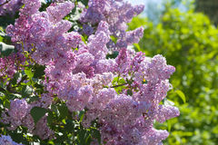 Lilac with leaves Stock Image