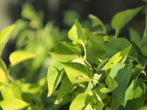 Lilac leaves. Branch of lilac in a bright sunny day Stock Photos