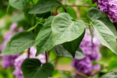 Lilac leaves after the rain. Natural foliage texture with raindrops royalty free stock photo