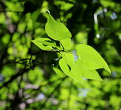 Lilac leaves. Summer bright green lilac leaves are so beautiful on sunshine royalty free stock image
