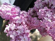 Lilac liefde royalty-vrije stock foto