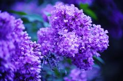 Lilac Life. Vibrant Lilac cluster infused with color to make an eye opening experience Stock Photography