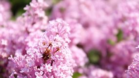 Lilac lilac bushes in the sunlight on the street. Spring concept. Spring concept. Lilac lilac bushes in the sunlight on the street stock footage