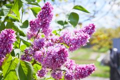 Colorful purple lilacs blossoms with green leaves. Lilac. Lilacs, syringa or syringe. Colorful purple lilacs blossoms with green leaves. Floral pattern. Lilac stock image