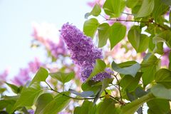 Lilac. Lilacs, syringa or syringe. Colorful purple lilacs blossoms with green leaves. Floral pattern. Lilac background texture. Lilac wallpaper royalty free stock photo