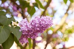 Lilac. Lilacs, syringa or syringe. Colorful purple lilacs blossoms with green leaves. royalty free stock photo