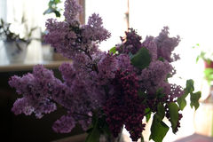 Lilac in the living room Stock Images