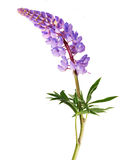 Lilac lupine flowers isolated on white Stock Photography