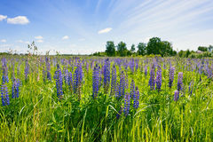Lilac lupines in a green grass against the background of the blue sky with white clouds. Magnificent lilac lupines in a green grass against the background of the Stock Images