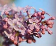 Lilac. Macro. Royalty Free Stock Photography