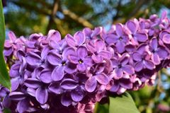 Lilac, Macro. Cluster. stock photo