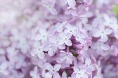 Lilac macro photo stock image