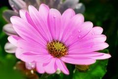Lilac Margiurite. Raindrops on a lilac Margiurite Stock Photography