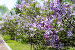 Lilac. May open in the garden and the side of the road of the clusters of Harbin is very beautiful and lilac taste very sweetn Stock Photos