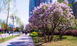Lilac. May open in the garden and the side of the road of the clusters of Harbin is very beautiful and lilac taste very sweetn Royalty Free Stock Photos