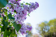Lilac. May open in the garden and the side of the road of the clusters of Harbin is very beautiful and lilac taste very sweetn Stock Photo