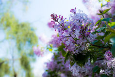 Lilac. May open in the garden and the side of the road of the clusters of Harbin is very beautiful and lilac taste very sweetn Stock Photography