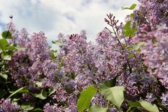 Lilac, Moscow. Blooming lilac in the park royalty free stock images