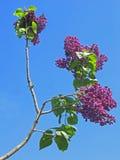 Lilac na flor Fotos de Stock Royalty Free
