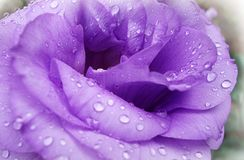 Lilac nam met dalingen van dauw toe royalty-vrije stock afbeeldingen