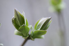 Lilac new leaves Stock Photography