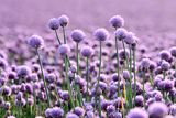 Lilac onion field Royalty Free Stock Images
