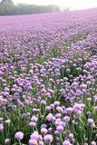 Lilac  onion field Stock Image