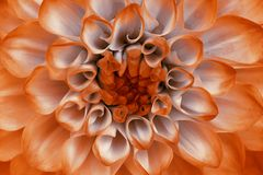 Lilac orange dahlia  flower closeup. Macro. It can be used in website design and printing. Stock Photos