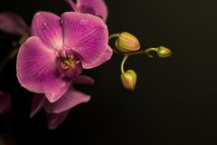 Lilac orchid Stock Image