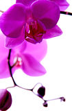 Orchid. Lilac orchid beautiful and good smell Royalty Free Stock Photos