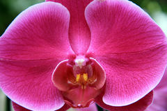 Lilac orchid Royalty Free Stock Photos