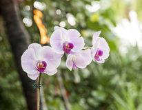 Lilac Orchid. Full colour shot of very pretty Lilac Orchid with out of focus flame and green follage in the back ground Stock Photos