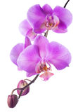 lilac  orchid is isolated on the white  background Royalty Free Stock Photos