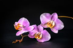 Lilac orchid phalaenopsis with dew Royalty Free Stock Photo