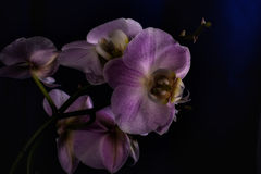 Lilac orchidea with black background Stock Images