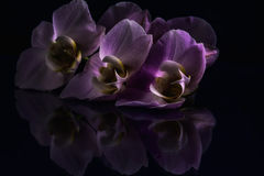 Lilac orchidea with black background Royalty Free Stock Photos